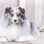 Sheltie, Shetland Sheepdog, Blue Merle